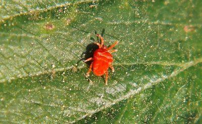 Борьба с красным паутинным клещем