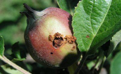 Борьба с плодожоркой