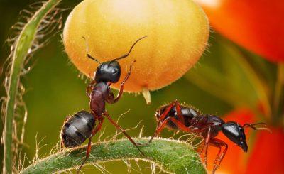 Куриный помет от муравьев