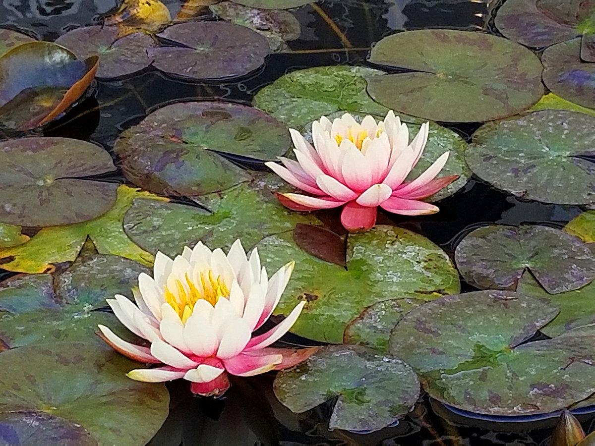 Нимфеи (Водяные лилии)