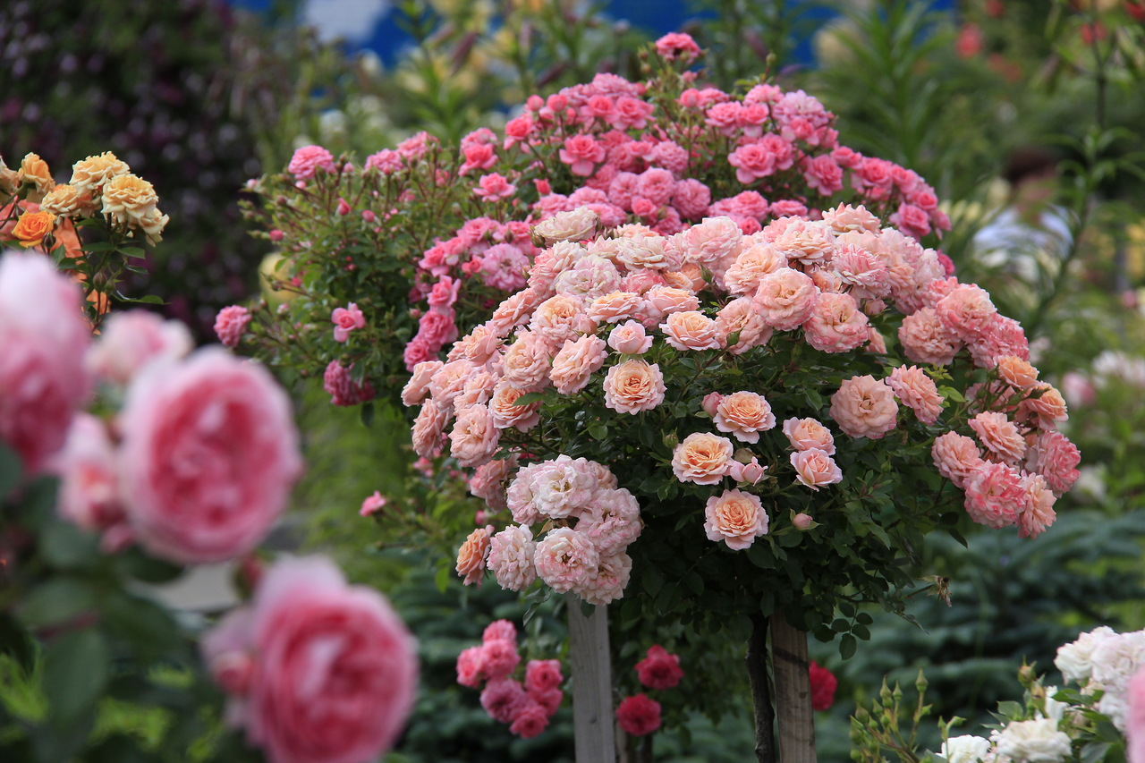 Штамбовая роза своими руками