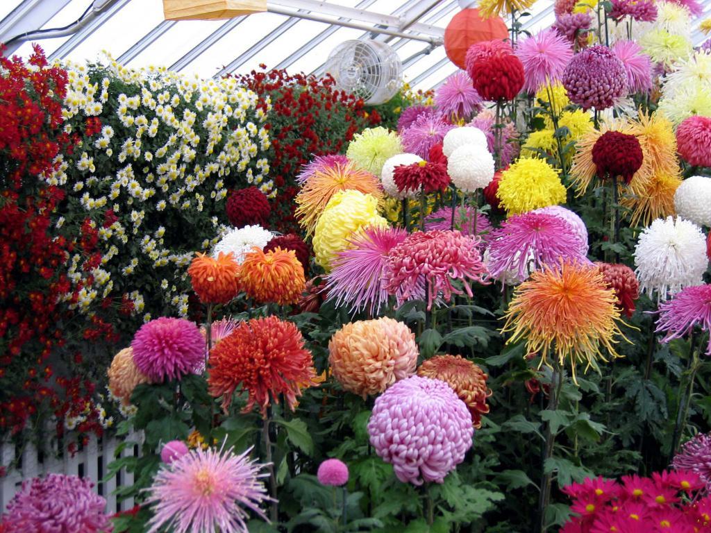 Выращивание крупноцветковых хризантем